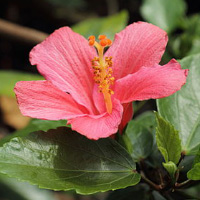 Infusion Hibiscus Eglantier
