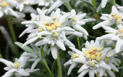 Edelweiss Creme Solaire