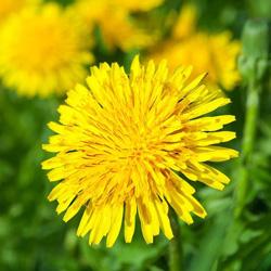 Organic Dandelion Burdock & Hawthorn